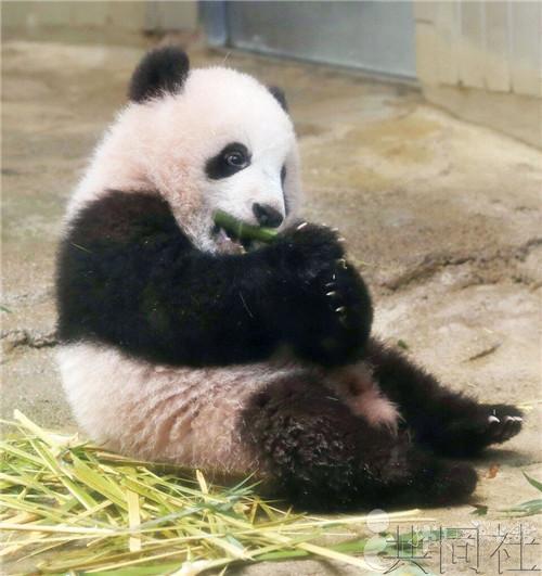 大熊猫 香香 今起见世面,韩美林创作熊猫雕塑送祝福图片 38950 500x531